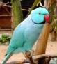 8410b-blueindianringneck