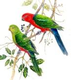 fiona-lumsden-king-parrots