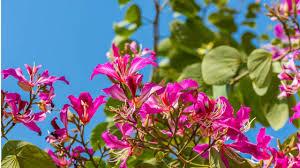 purple bauhinia
