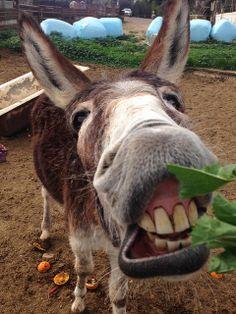 donkey grin