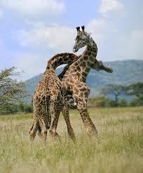 giraffe duel