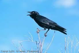 aus crow