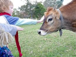 Patting a cow for the first time